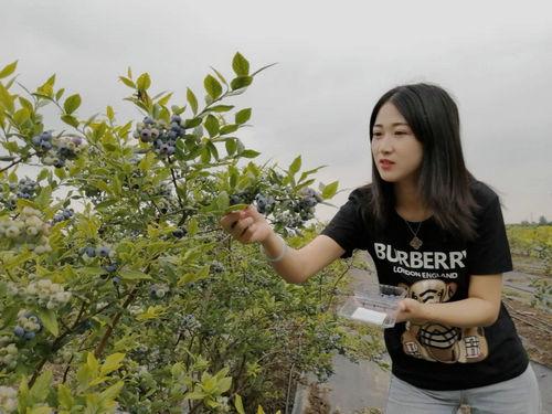 莱西:牛奶灌溉十一年未用农药的蓝莓在姜山镇开始采摘
